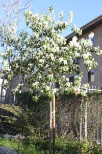 ornamental pear tree in full bloom