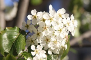 Ornamental pear tree closeup image